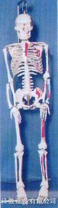 成人高级全可分软脊椎左边肌肉着色编码人体骨骼模型
