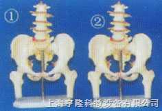 成人女性盆骨附五节腰椎和半腿骨模型