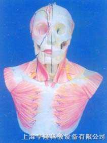 自然大头、颈部层次解剖附脑N.A模型