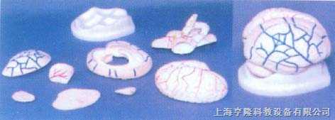 脑冠状解剖模型