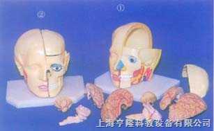 大头颅带全部脑模型