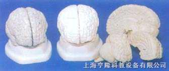 灰色脑模型(3件)