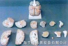 特大脑解剖
