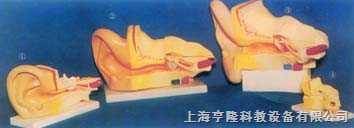 大型耳放大解剖模型(B式)