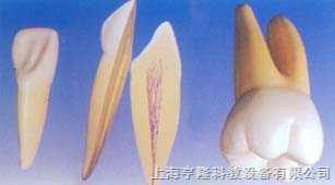 大型正常牙齿模型