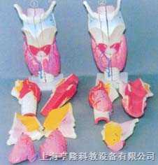 大型喉解剖初、高级放大模型