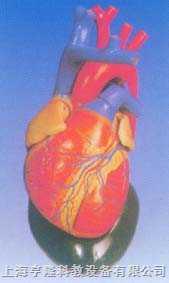 心脏解剖放大模型(软)