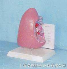 气管和肺解剖模型