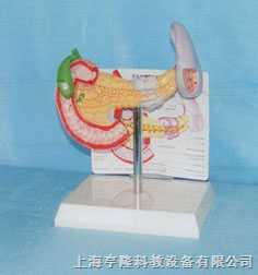 脾胰胆和十二直肠模型