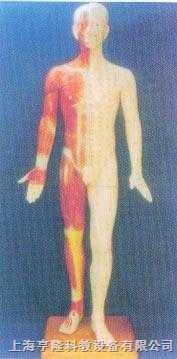 半皮肤人体针灸模型(170CM )