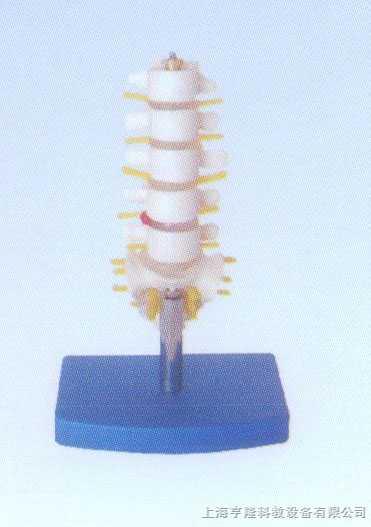 小型腰椎带尾椎骨模型