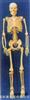 85公分高成人骨色人体骨骼具铁质座