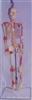 85CM人体骨骼半边肌肉着色并编码右关节附韧带挂式模型