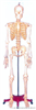 128CM人体骨骼12bet