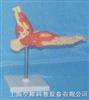 脚关节功能模型