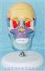 成人头骨骨性彩色分离示名称模型带立座