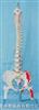 大型软脊椎带盆骨半腿骨肌肉着色