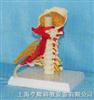高级颈椎带神经、肌肉、小脑模型