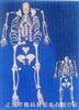 168公分高成人骨骼全身散骨模型(左手掌和左脚掌全接好)