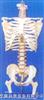 大型成人带后枕骨、脊椎、椎间盆、髋骨等豪华挂座模型