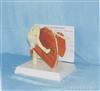 肩关节功能带肌肉韧带模型
