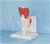 膝关节肌肉与韧带模型