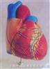 中型心脏解剖放大模型