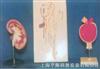 肾脏、肾单位、肾小球放大12bet12bet