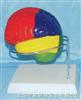 大脑色分示功能模型