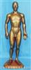 全皮肤铜色人体针灸模型(68CM)
