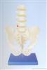 自然大骨盆带五节腰椎模型