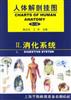 人体解剖挂图(消化系统)