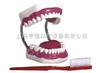 牙中文保健12bet(28颗牙)(放大5倍)