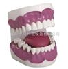 牙中文保健12bet(28颗牙)(放大3倍)